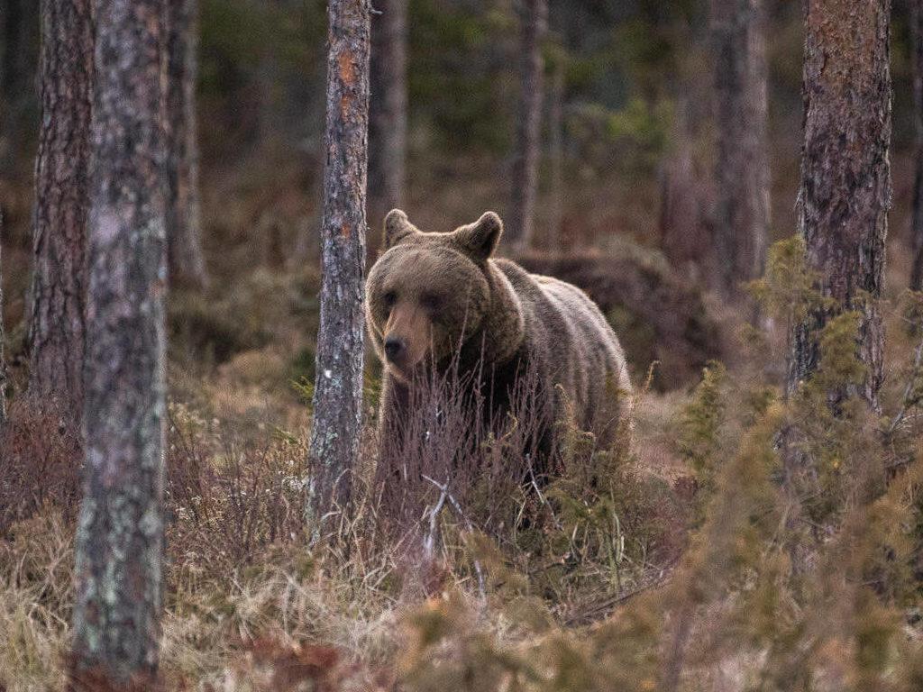 Björnskådning hos Wild Medelpad.