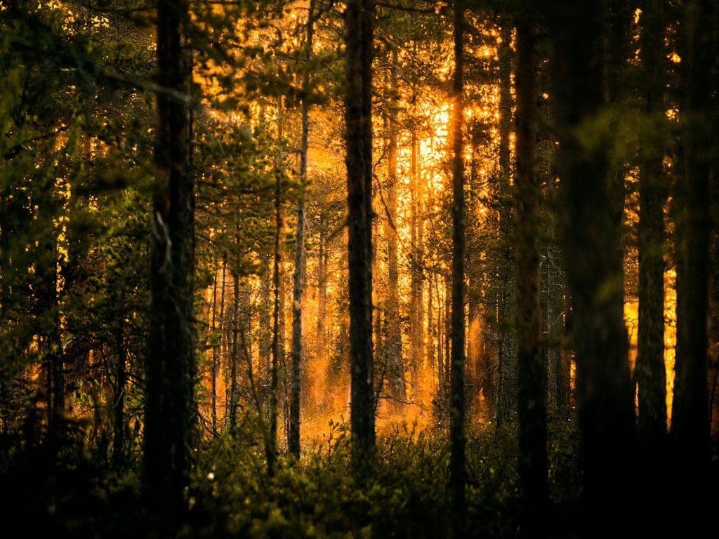 Skogen runt om Wild Medelpad gömslet.