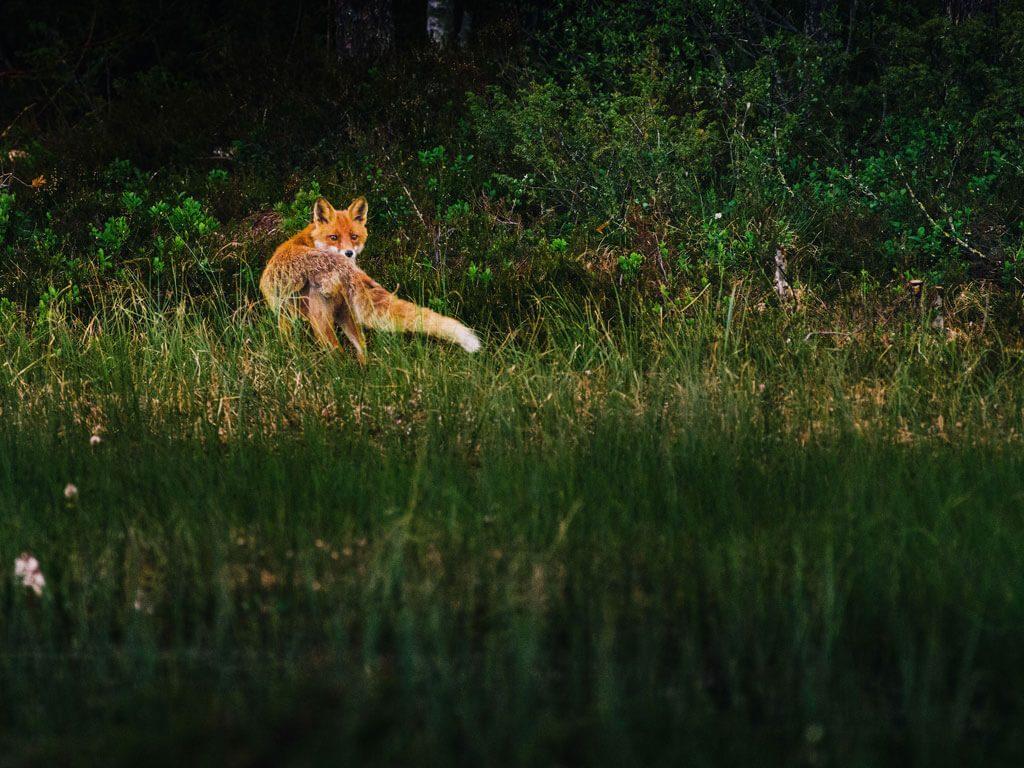 En räv smyger fram vid Wild Medelpad gömslet.