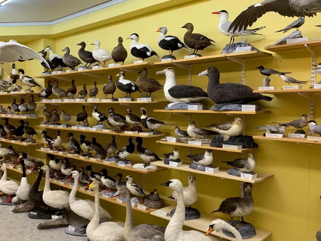 Bild på Pär Gelin konserverade fåglar som finns på Ånge Zoologiska Museum.
